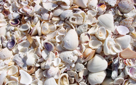 Beach shells on the Boca Grande wallpaper