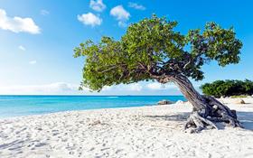 Divi-divi boom tree at the sunny beach in Aruba