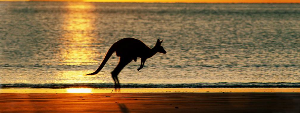 Kangaroo hopping across the Australian beach wallpaper