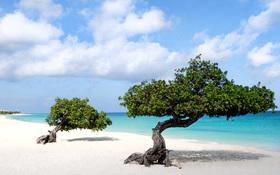 Beautiful wallpaper of Divi trees in Aruba island