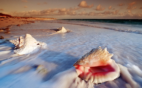 Conch shells at Cat Island of Bahamas wallpaper