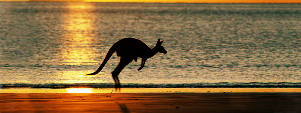 Kangaroo hopping across the Australian beach wallpaper